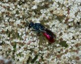 Ruby-tailed wasp (Chrysis) sp.