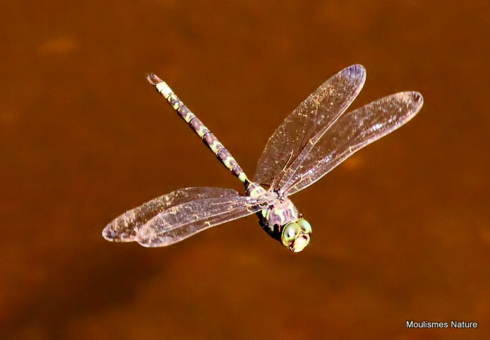 Dusk Hawker (Boyeria irene) M