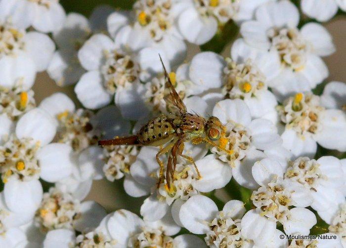 Tephritid fly sp. Orellia falcata F
