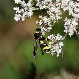 Parasitic wasp sp. Leucospis dorsigera F