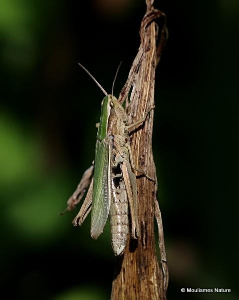 Lesser Marsh Grasshopper (Chorthippus a. albomarginatus) F