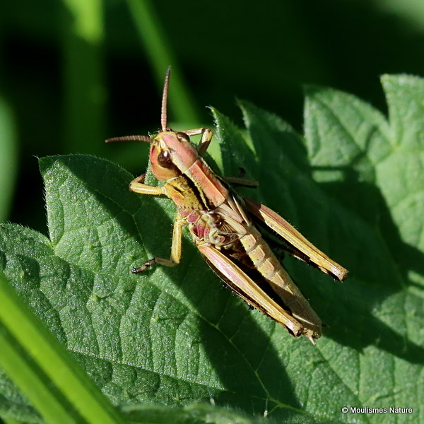 Large Marsh Grasshopper (Stethophyma grossum) nymph