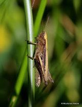 Lesser Marsh Grasshopper (Chorthippus albomarginatus albomarginatus) F