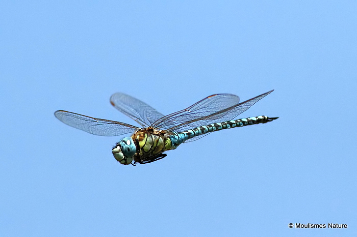 Southern Migrant Hawker (Aeshna affinis) M