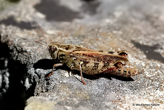 Barbarian Grasshopper (Calliptamus b. barbarus) F