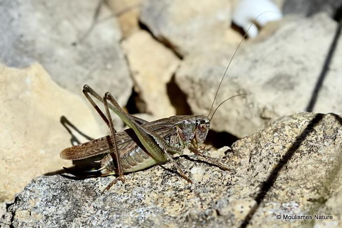 Grey Bush-cricket (Platycleis a. albopunctata) F
