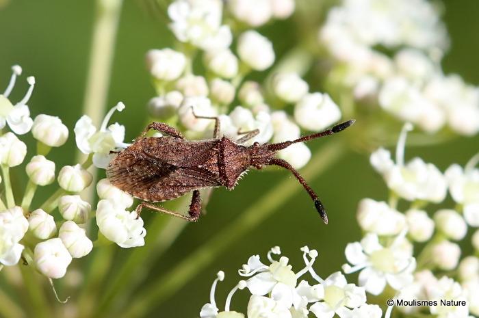 Denticulate Leatherbug (Coriomeris denticulatus)