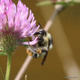 Shrill Carder Bee (Bombus sylvarum)