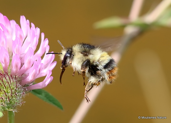 Shrill Carder Bee (Bombus sylvarum)