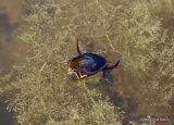Great Diving Beetle (Dytiscus marginalis) M