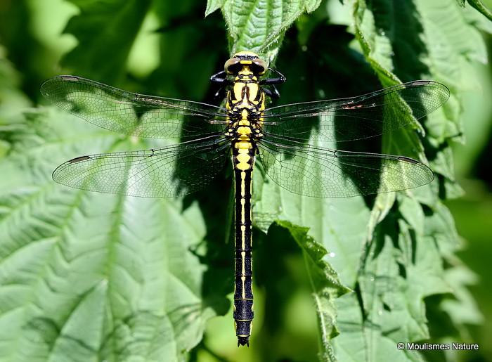 Club-tailed Dragonfly (Gomphus vulgatissimus) F