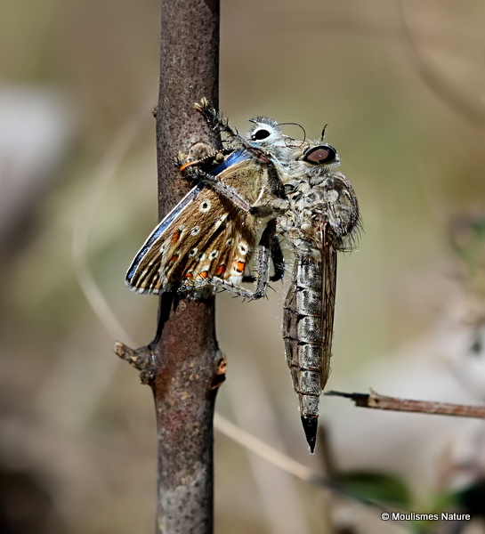 Robber fly (Asilidae) sp.