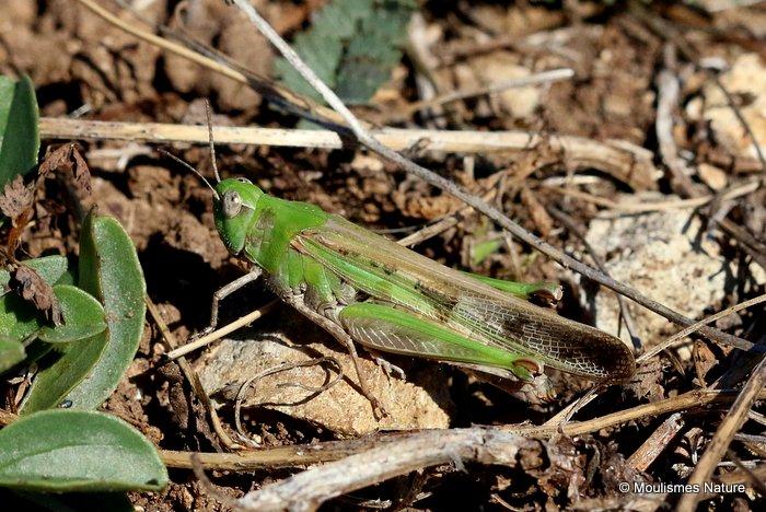 Long-winged Grasshopper (Aiolopus t. thalassinus) F