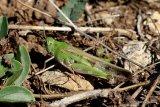 Long-winged Grasshopper (Aiolopus thalassinus thalassinus) F
