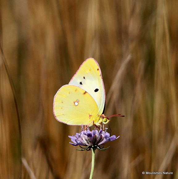 Clouded Yellow (Colias) sp.