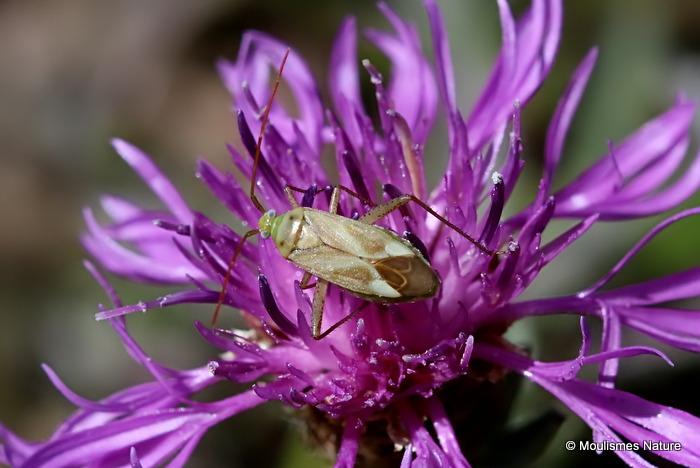 Lucerne Bug (Adelphocoris lineolatus)