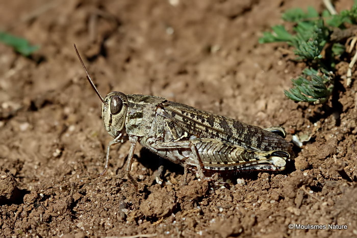 Barbarian Grasshopper (Calliptamus b. barbarus) M