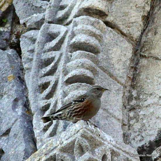 Alpine Accentor (Prunella collaris) Ad