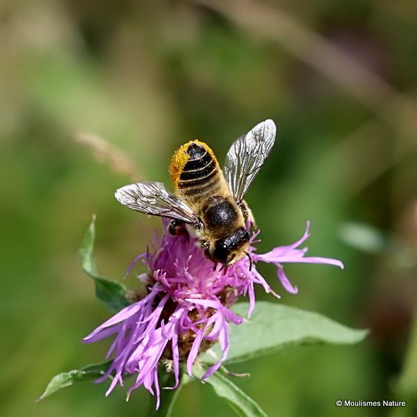Wood-carving Leaf-cutter Bee (Megachile ligniseca) F