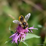 Wood-carving Leaf-cutter Bee (Megachile ligniseca) F