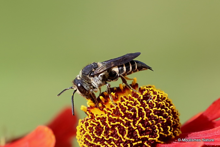 Sharp-tailed bee (Coelioxys) sp. F