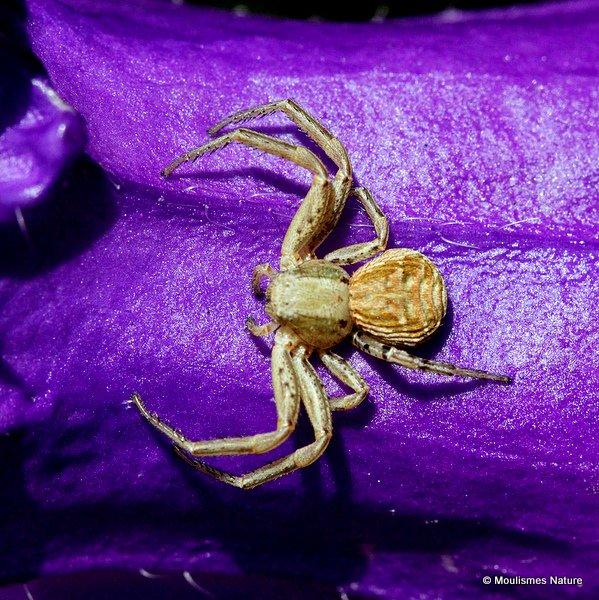 Crab spider (Xysticus cristatus)