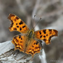 Comma (Polygonia c-album), Le Robert le diable