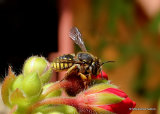 Wool carder bee sp. Anthidium oblongatum