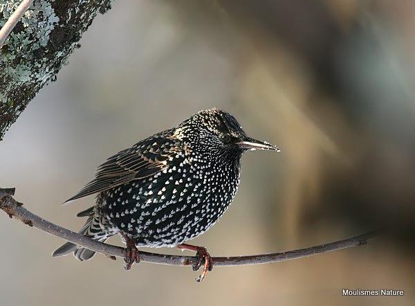 Common Starling (Sturnus vulgaris) Ad-W