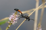 Red-banded Sand Wasp (Ammophila sabulosa)