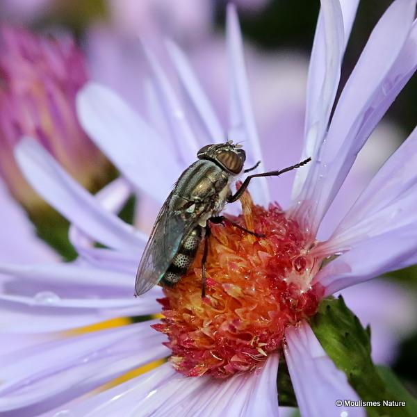 Locust Blowfly (Stomorhina lunata) F