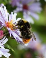 Red-tailed bumblebee (Bombus lapidarius) M