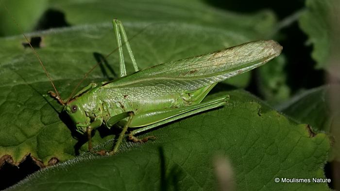 Great Green Bush-cricket (Tettigonia viridissima) F