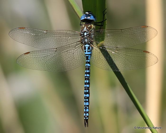 Southern Migrant Hawker (Aeshna affinis) M, Aeschne affine