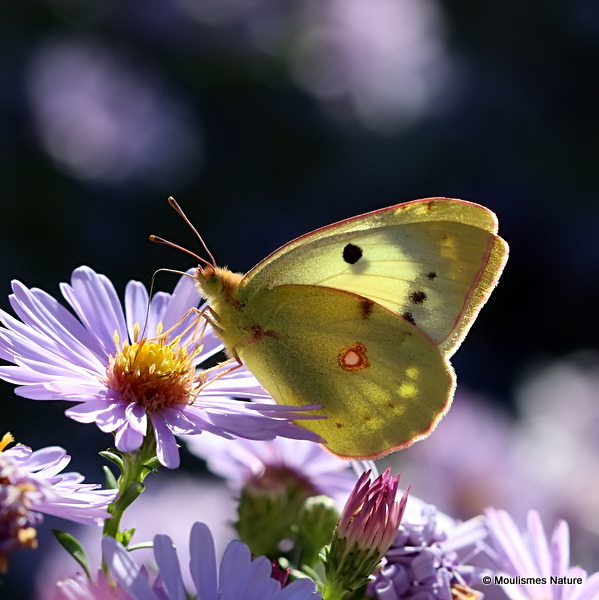 Clouded Yellow (Colias crocea) F, helice