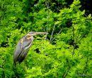 Purple Heron (Ardea purpurea) Ad, Héron pourpré