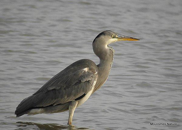 Grey Heron (Ardea cinerea) Juv/1W, Héron cendré