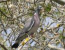 Common Wood Pigeon (Columba palumbus), Pigeon ramier