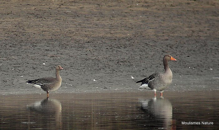 Greater White-fronted Goose (Anser albifrons) Juv