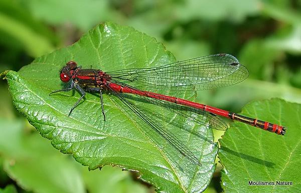 Large Red Damselfly (Pyrrhosoma nymphula) M, Petite nymphe au corps de feu