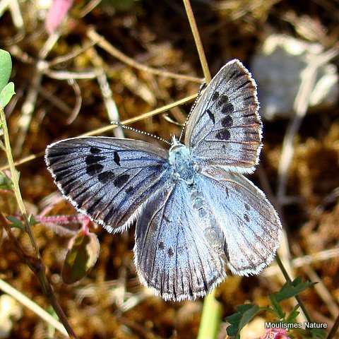Large Blue (Maculinea arion) F