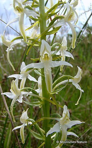 Lesser Butterfly Orchid (Platanthera bifolia), Orchis a deux feuilles