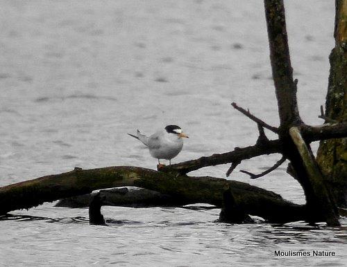Little Tern (Sternula albifrons) Ad-S