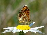 Meadow Fritillary (Mellicta parthenoides)