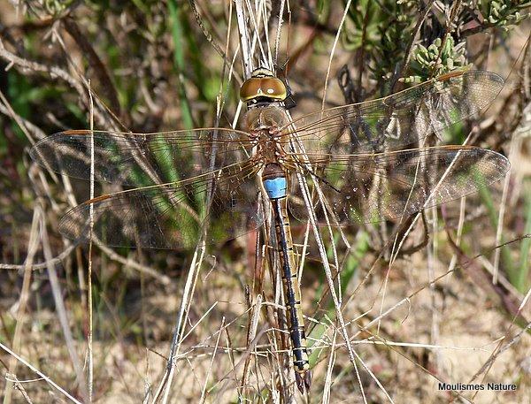 P1000376 Vagrant Emperor male, 9/2/11, La Rocina