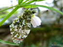 Orange Tip (Anthocharis cardamines) M