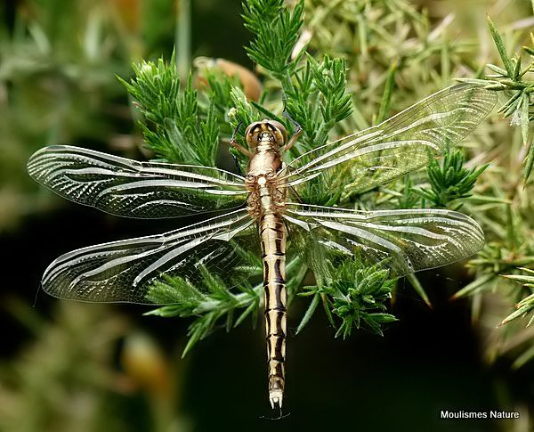 White-tailed Skimmer (Orthetrum albistylum) F-ten