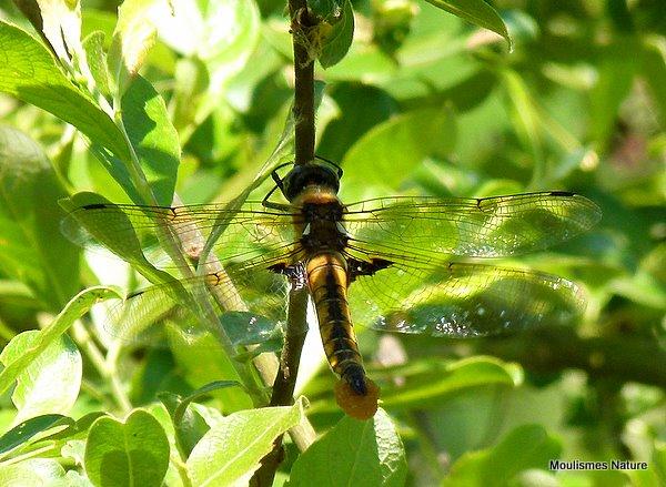 Baskettail (Epitheca bimaculata) F, Epithéca bimaculée