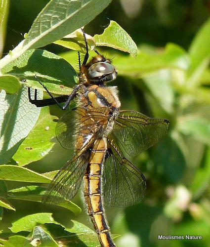 Baskettail (Epitheca bimaculata) F