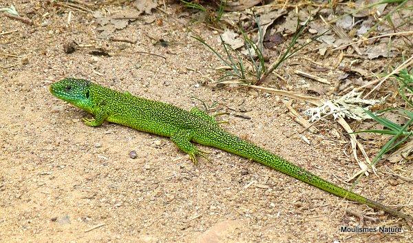 Green Lizard (Lacerta bilineata) M